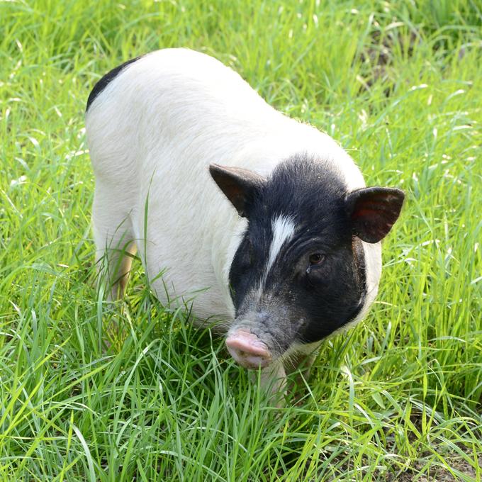巴马香猪活体